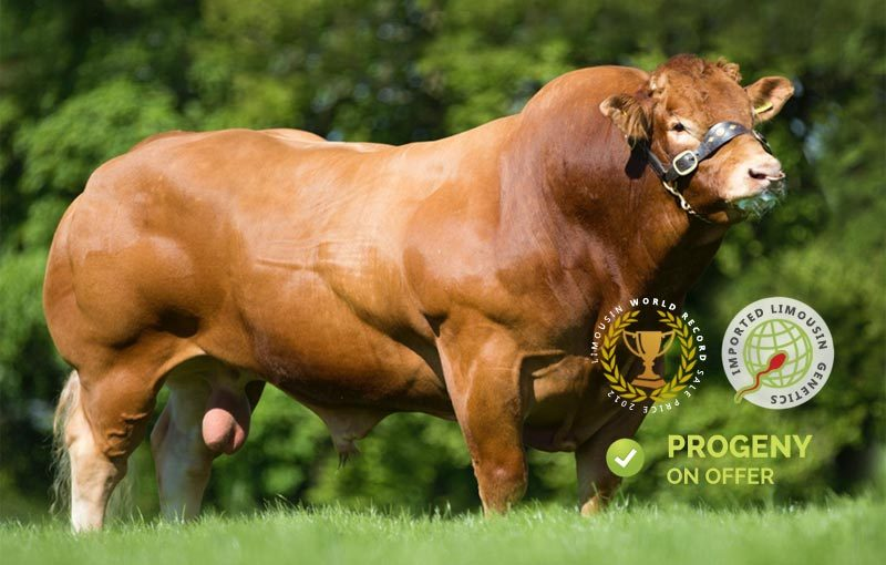 Fabio Limousin Bull genetics on offer