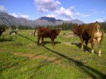 Cross breeding with Bonsmara Cattle