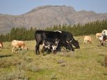 Cross breeding with Nguni cattle